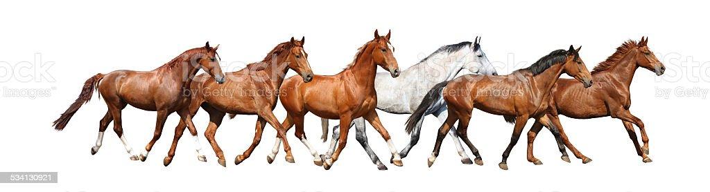 Herd of wild horses running free on white background stock photo