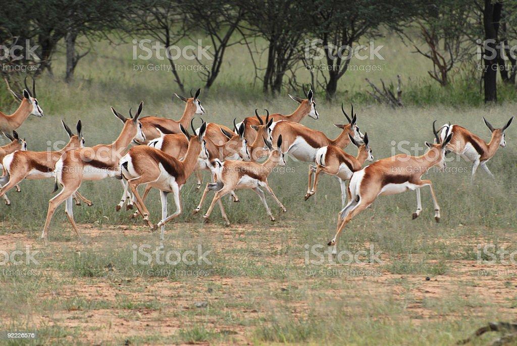 Herd of Wild Living Springboks Running stock photo