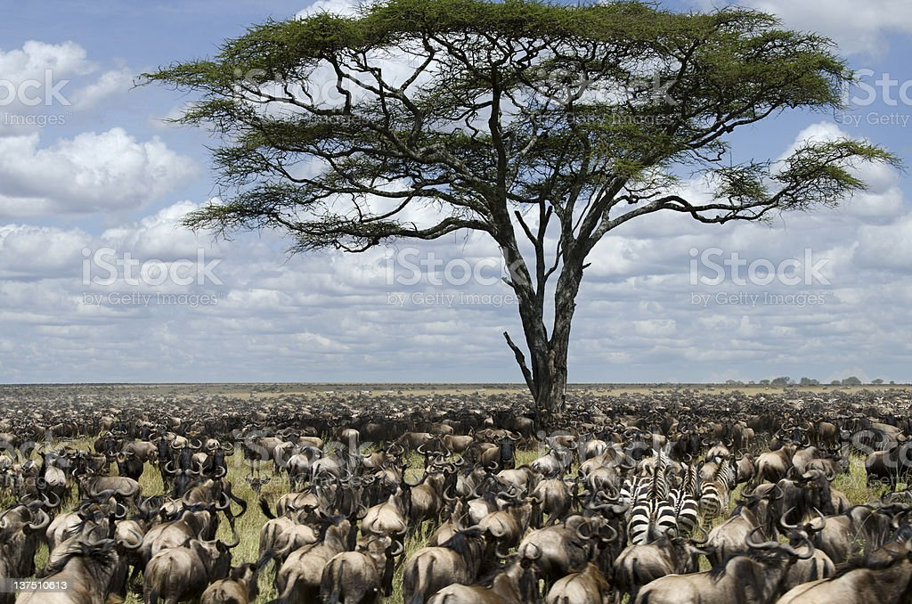 Herd of wildebeest migrating in Serengeti National Park, Tanzania, Africa stock photo