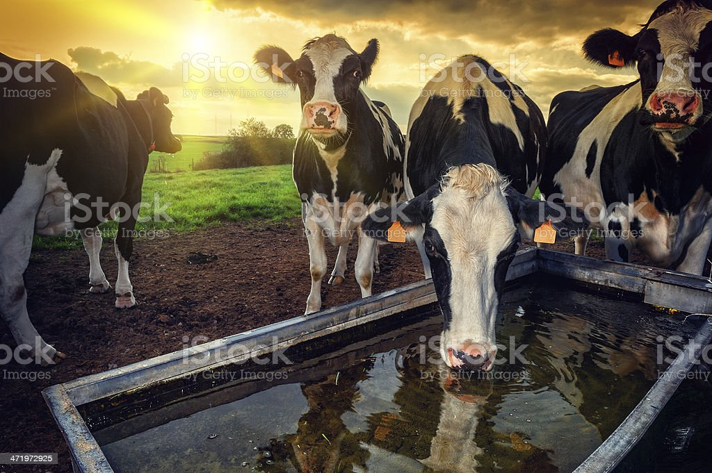 Herd of young calves drinking water stock photo
