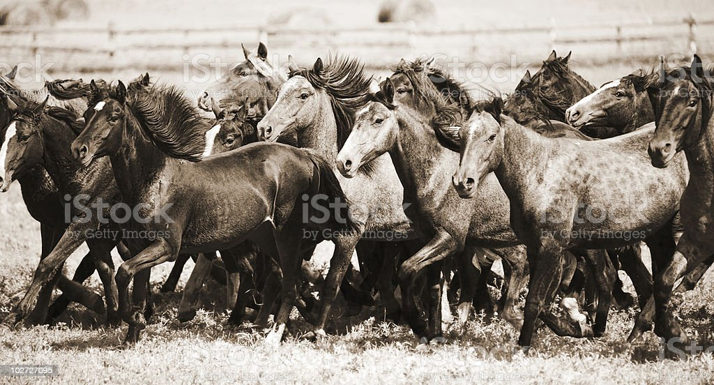 herd of young horses stock photo