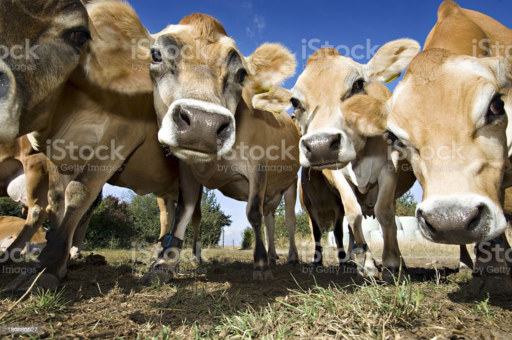 Herd Of Young Inquistive Jersey Cows stock photo