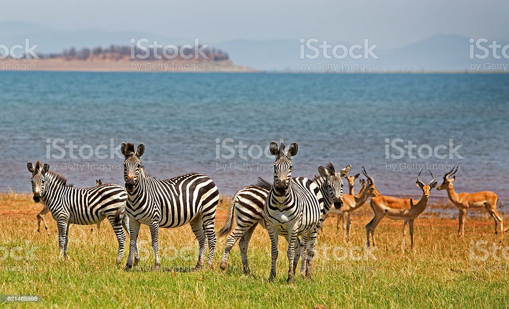 Herd of Zebra and Impala next to Lake Kariba stock photo