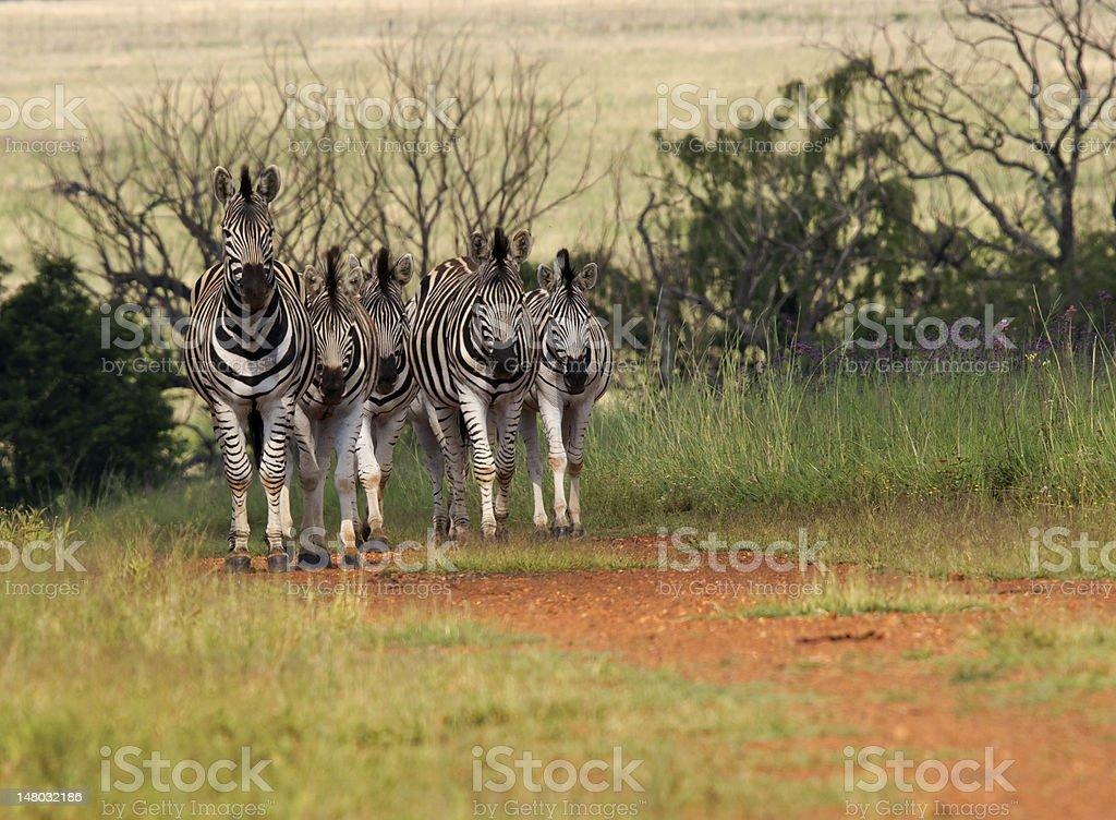 Stado Zebra przychodzące, Nicei niski kąt zbiór zdjęć royalty-free
