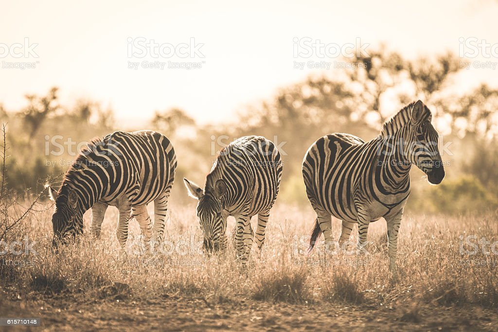 Herd of Zebras in the Kruger National Park, South Africa stock photo