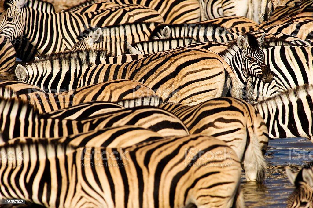 Herd of zebras, Okaukuejo waterhole, Etosha, Namibia stock photo