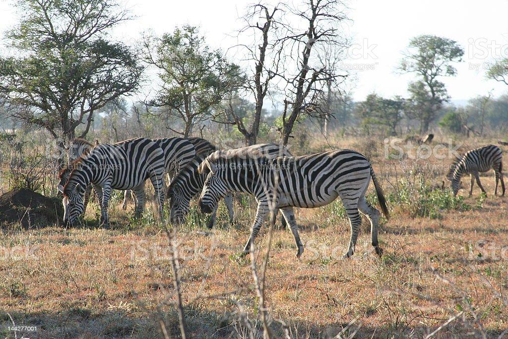 Herd of Zebra's stock photo