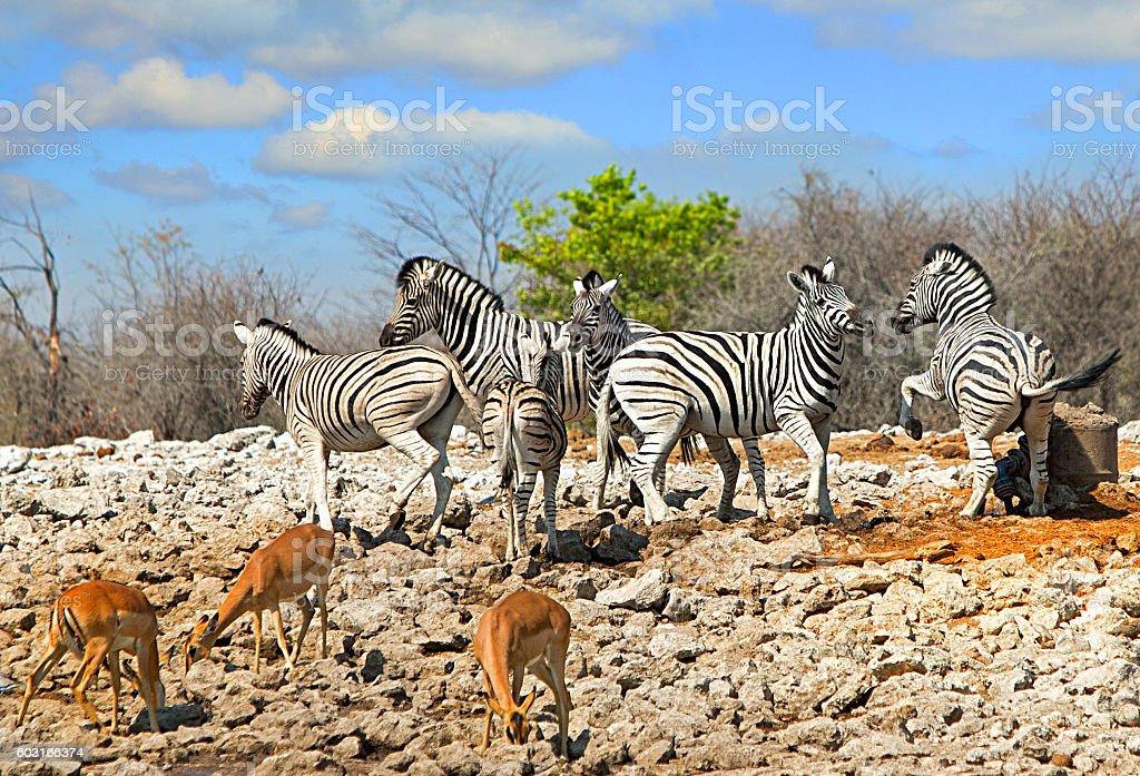Herd of Zebras playfully fighting stock photo