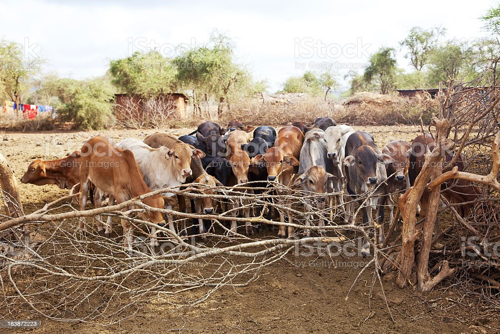 Herd of zebu cattle ready to leave the maasai village. stock photo