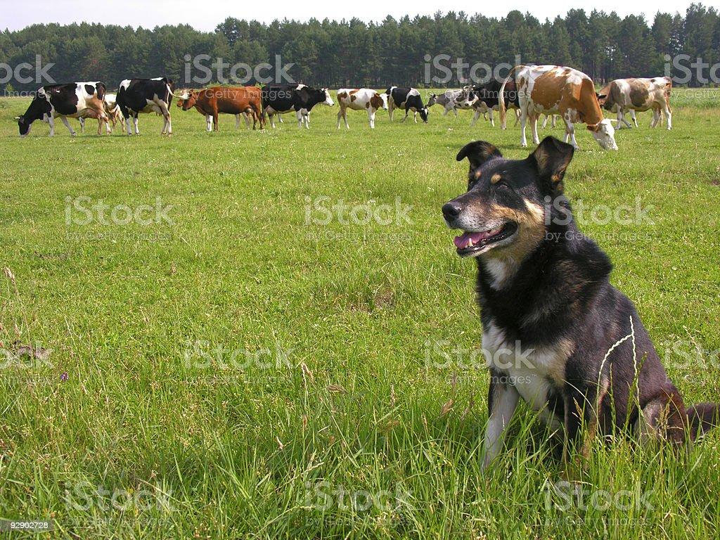 herder stock photo