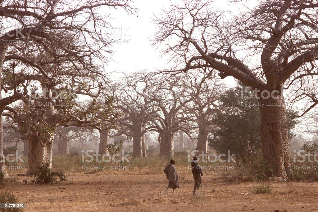 Herders walking through Baobab trees in dry season with hazy atmosphere of dustorm Yatenga Burkina Faso Sahel Africa stock photo