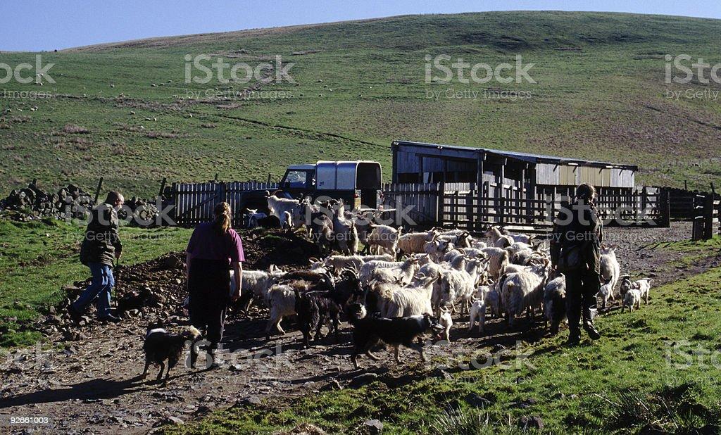 Herding cashmere goats on the Scottish Borders royalty-free stock photo