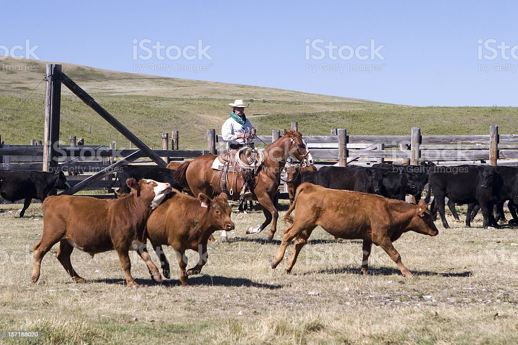 Herding Cattle royalty-free stock photo