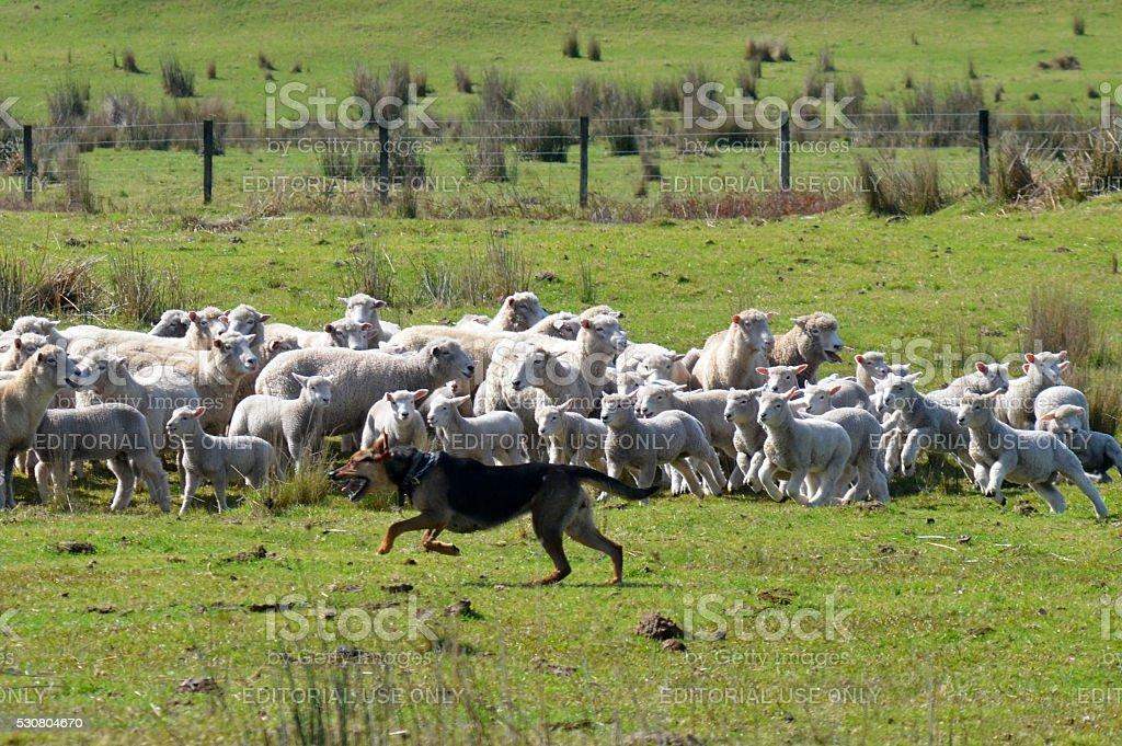 Herding dog stock photo