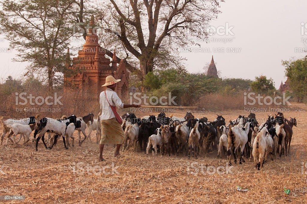 Herding Goats in Myanmar royalty-free stock photo