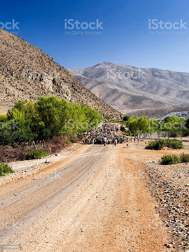 Herding goats in the Andes, Chile stock photo