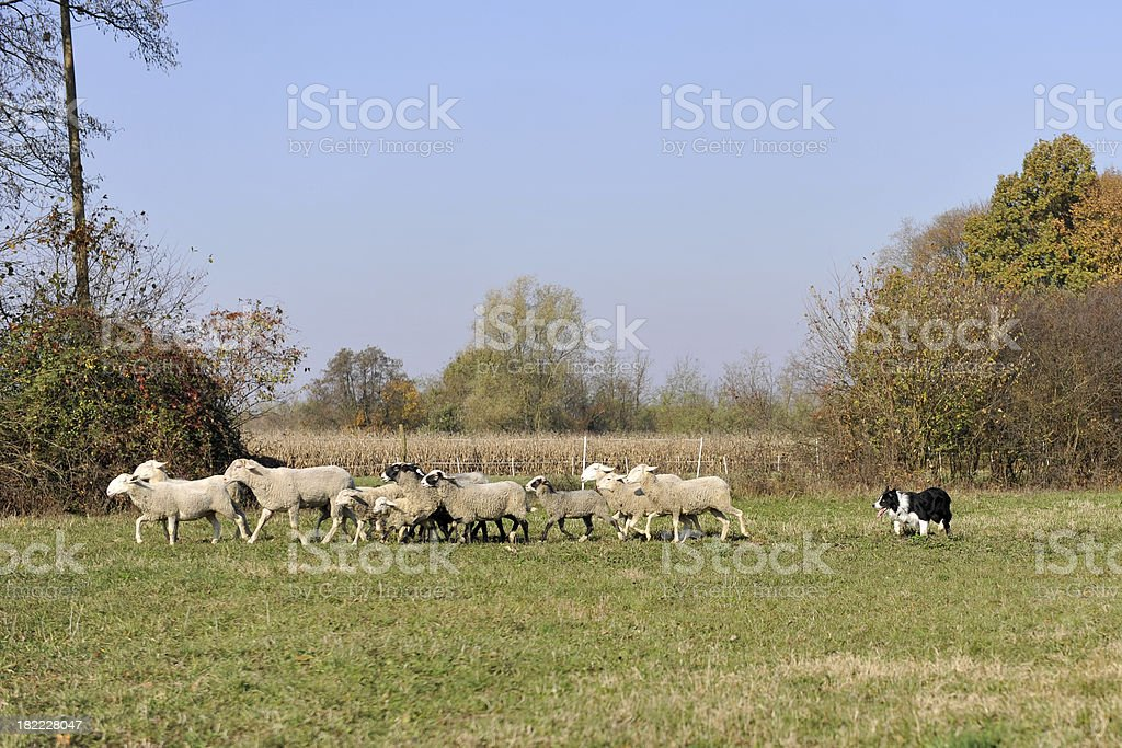 Herding royalty-free stock photo