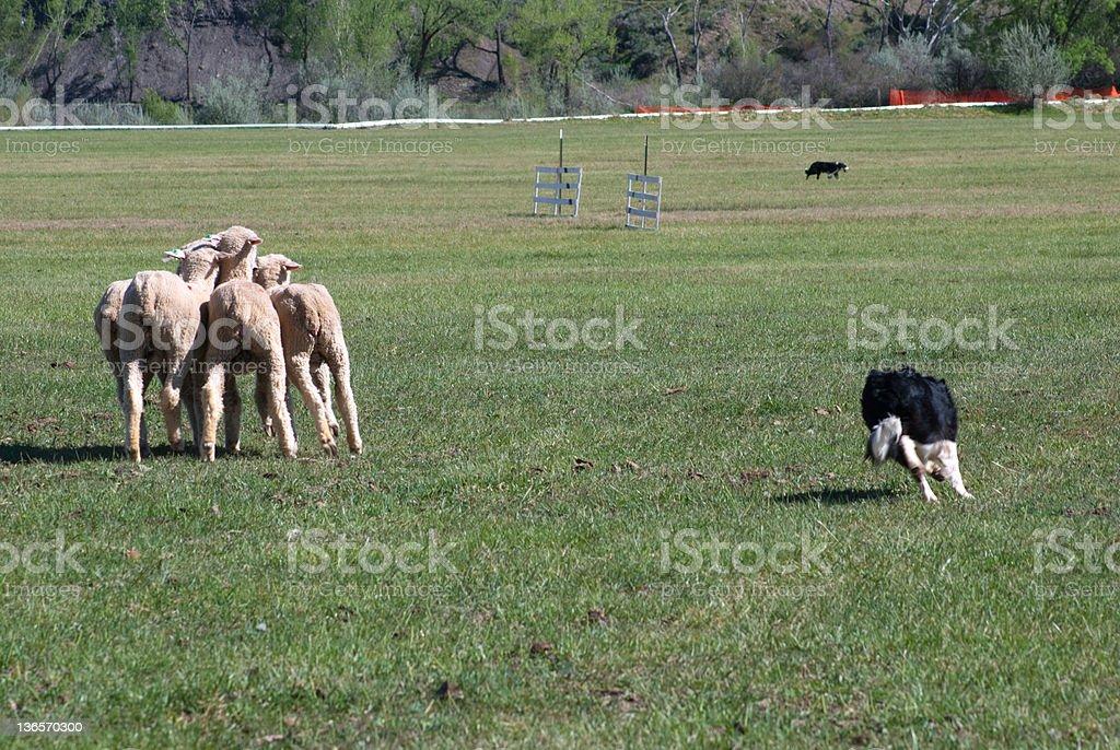 Herding Sheep at Hotchkiss Stockdog Trials royalty-free stock photo