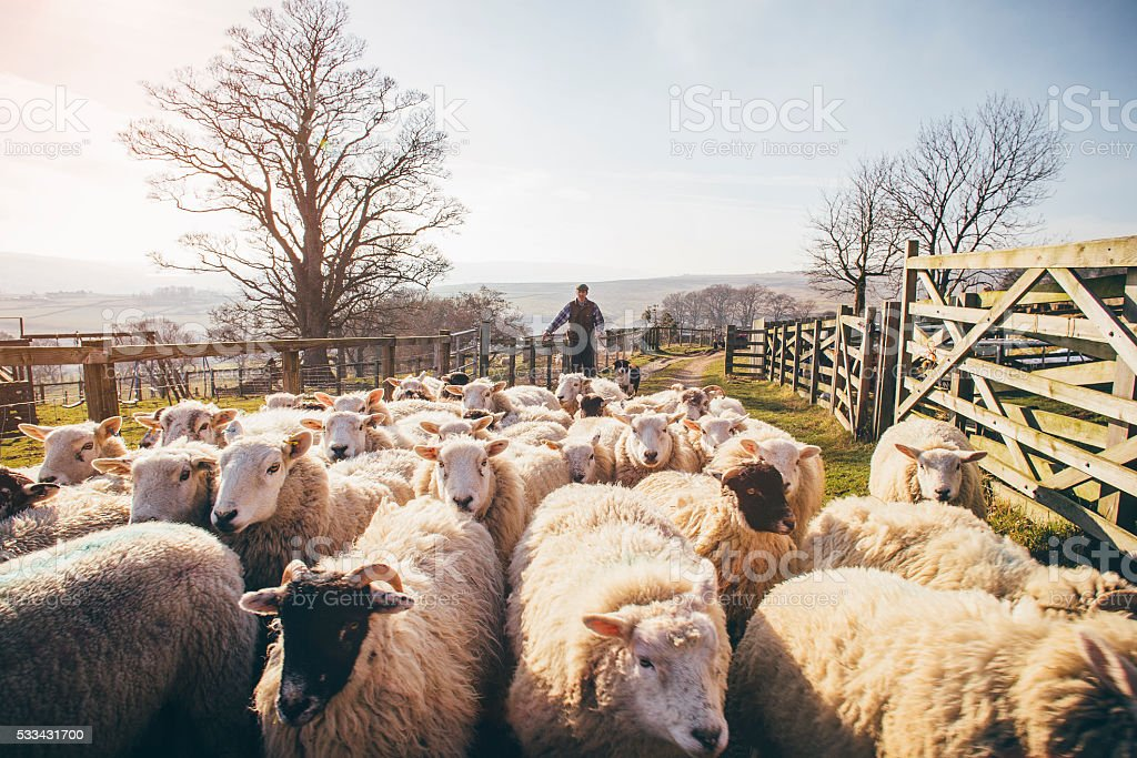 Herding Sheep stock photo