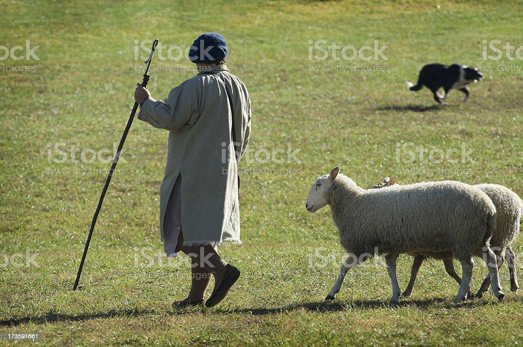 Herding the Sheep royalty-free stock photo