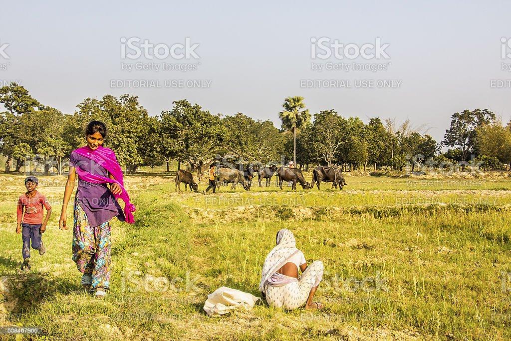 herding the water buffalos stock photo