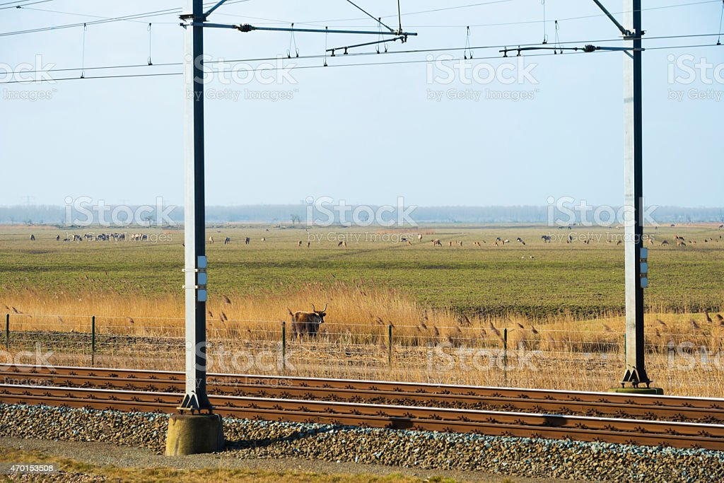 Herds grazing along a railroad in winter stock photo