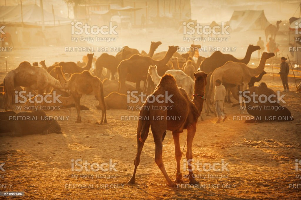 Herds of camels can be seen all over the place at Pushkar Cattle Fair stock photo