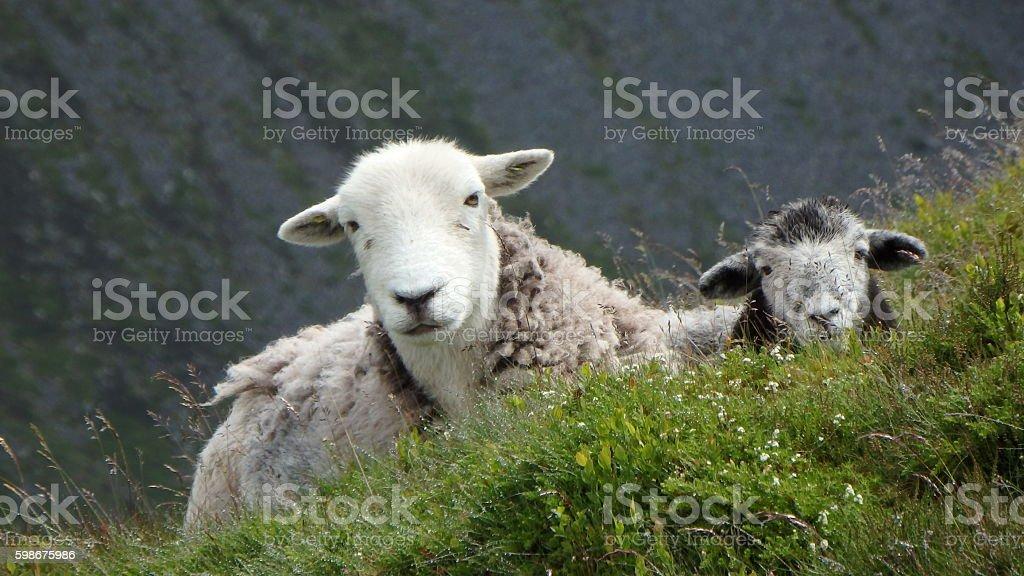 Herdwick Ewe and Lamb at rest stock photo