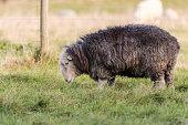 Herdwick ewe grazing in field