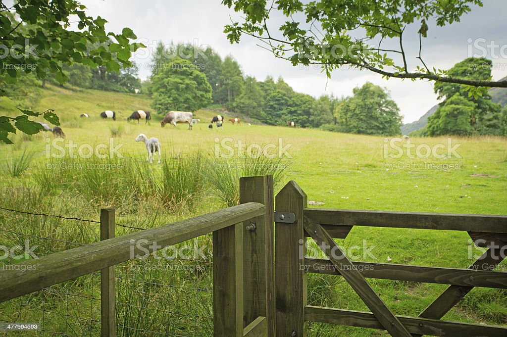 Herdwick sheep and Belted Galloway cattle stock photo