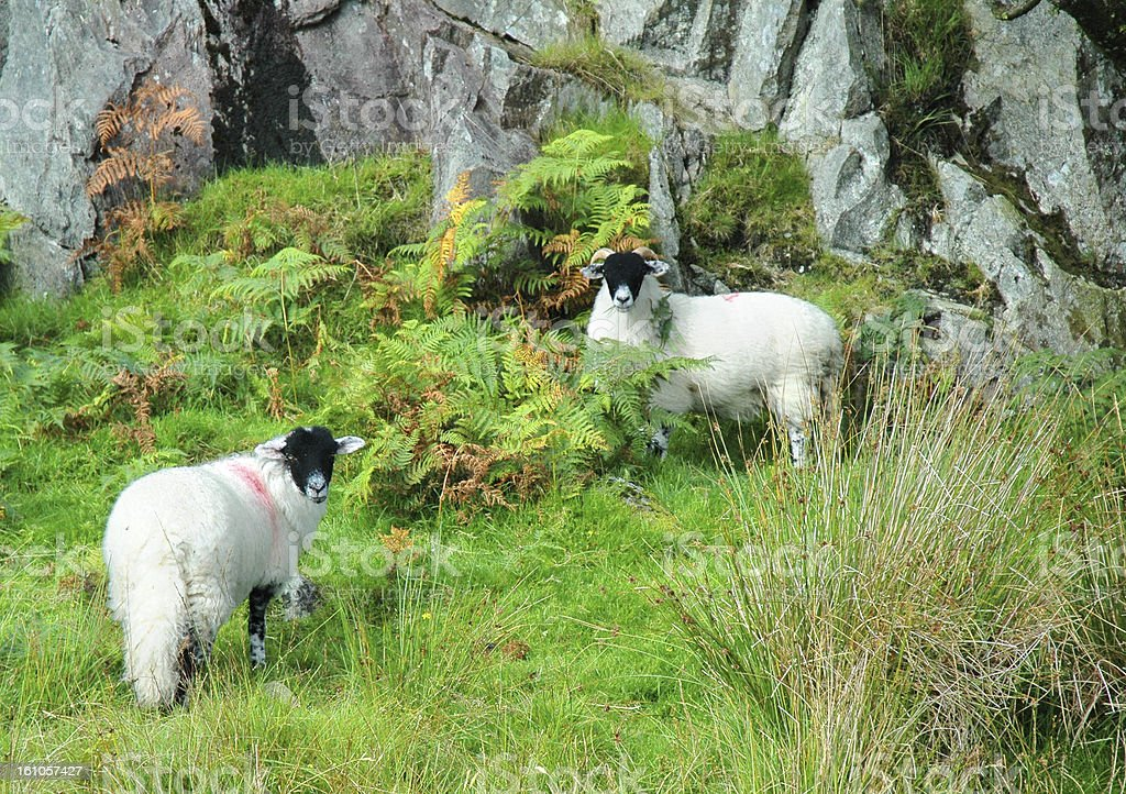 Herdwick Sheep in Langdale, Cumbria stock photo