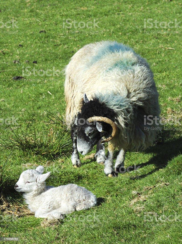 'Herdwick Sheep in Langdale, Cumbria' stock photo