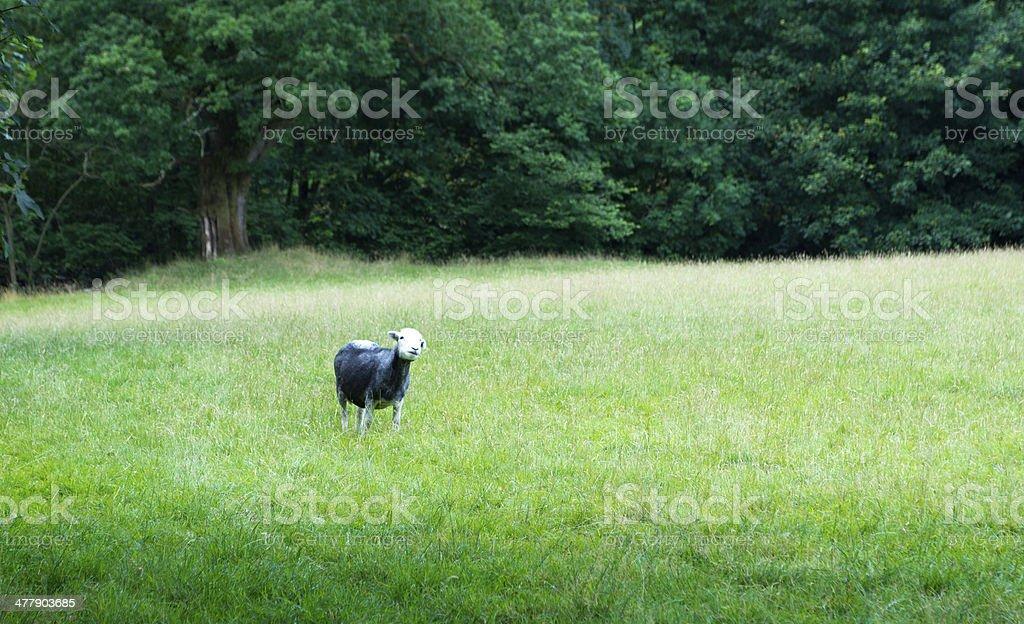 Herdwick sheep royalty-free stock photo