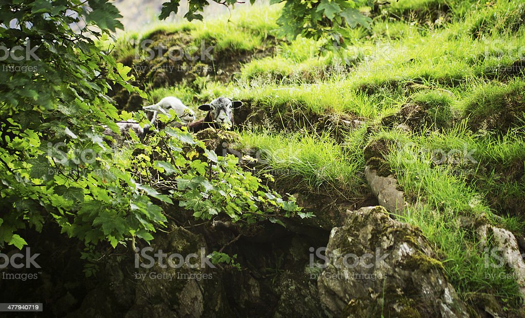 Herdwick sheep royalty-free stock photo