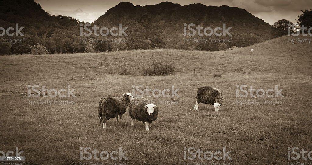 Herdwick sheep stock photo