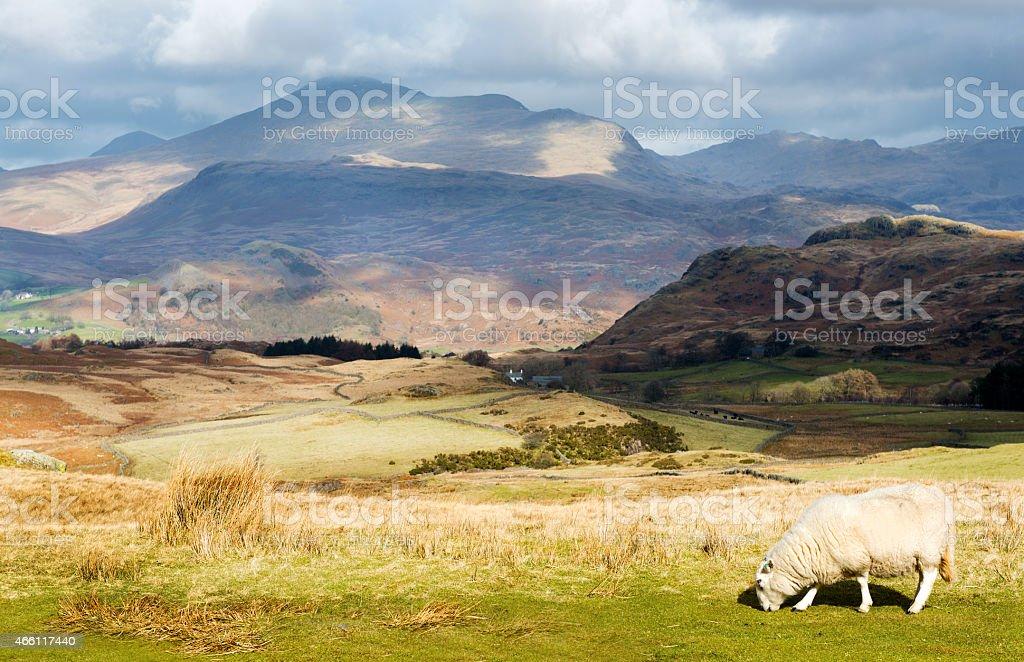Herdwick Sheep with Mountainous Background stock photo