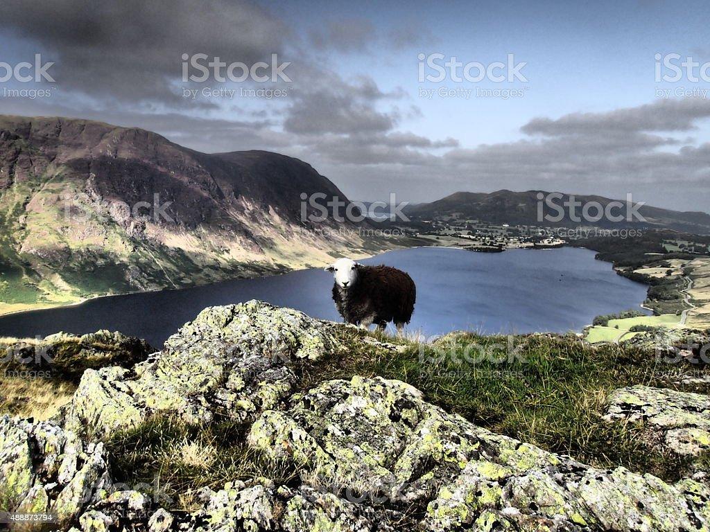 Herdy Sheep at Crummock Water & Mellbreak Fell stock photo