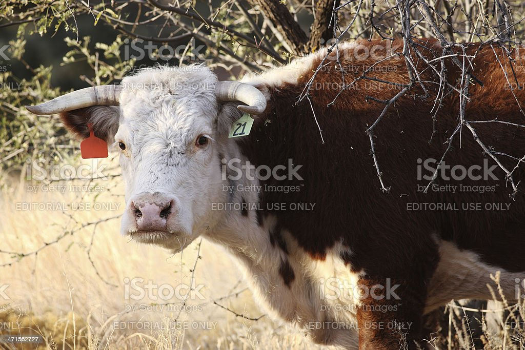 Hereford Beef Cow Steer Grazing royalty-free stock photo