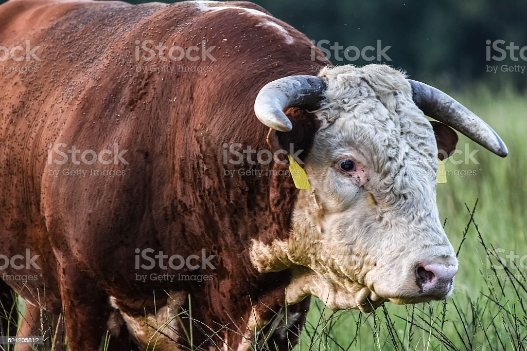 Hereford bull covered in horn flies stock photo