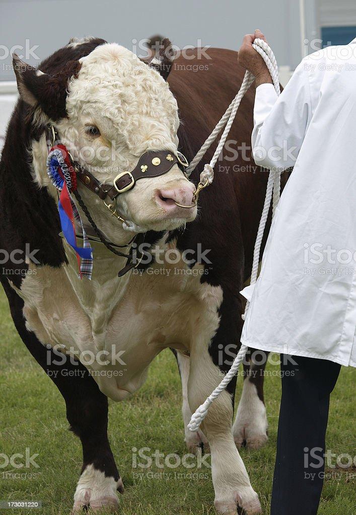 Hereford Bull royalty-free stock photo