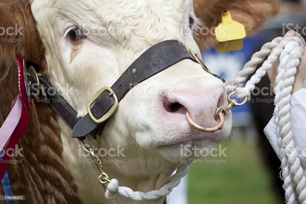 Hereford Bull royalty-free stock photo