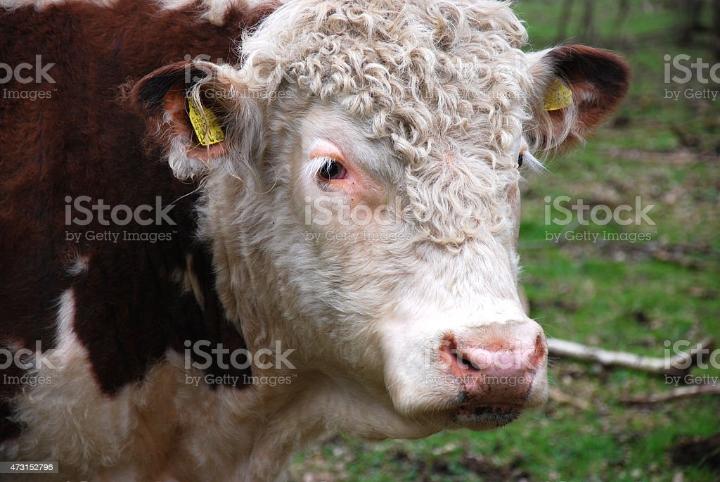 Hereford bull stock photo