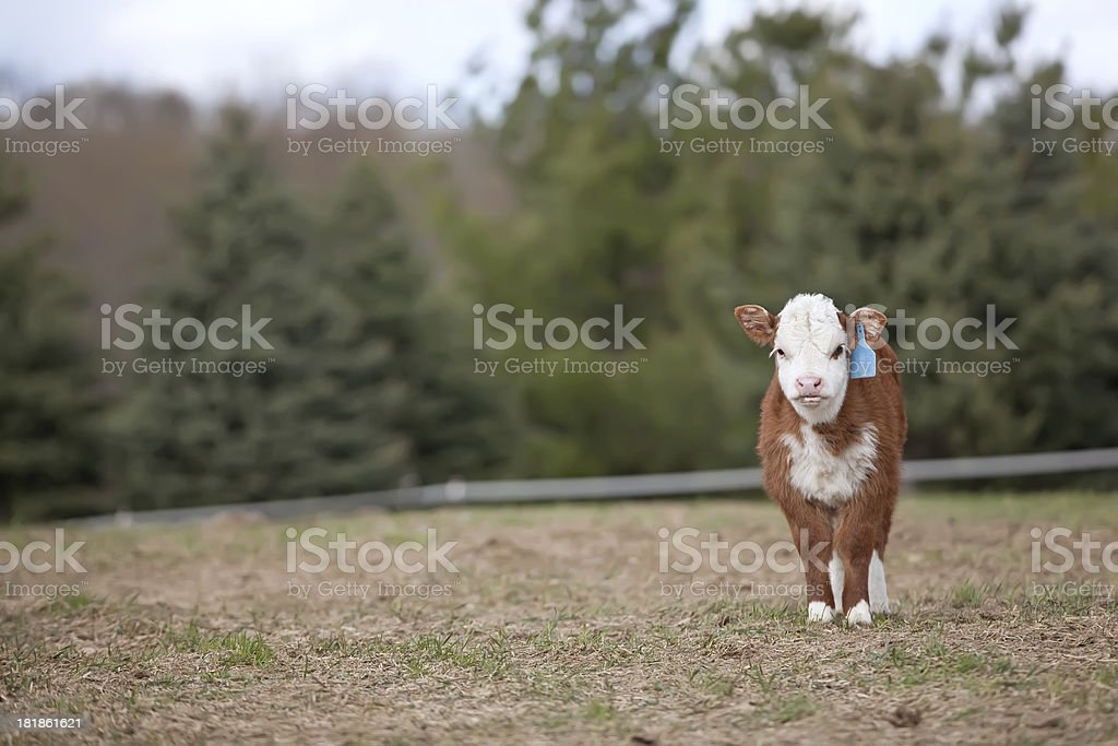 Hereford Calf in Pasture royalty-free stock photo