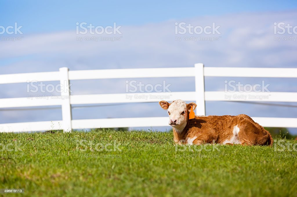 Hereford Calf in Pasture stock photo