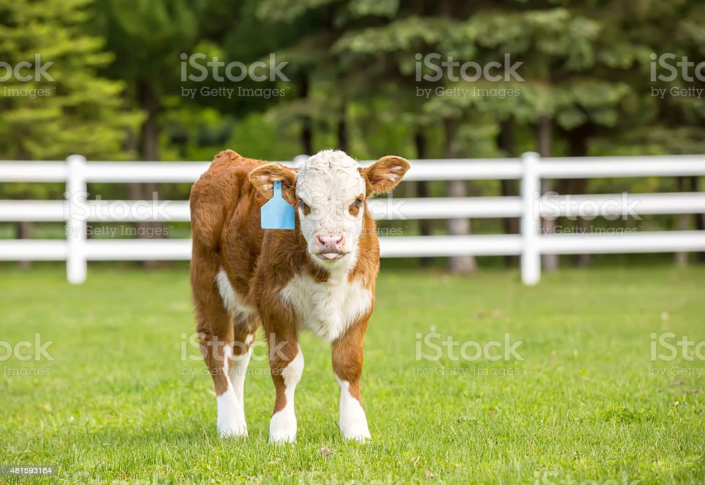Hereford Calf Standing in Pasture on Summer Day stock photo