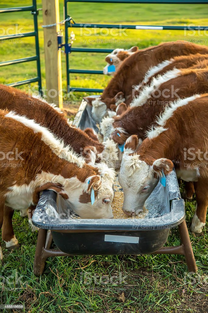 Hereford Calves Eating Corn From Feed Bunk stock photo