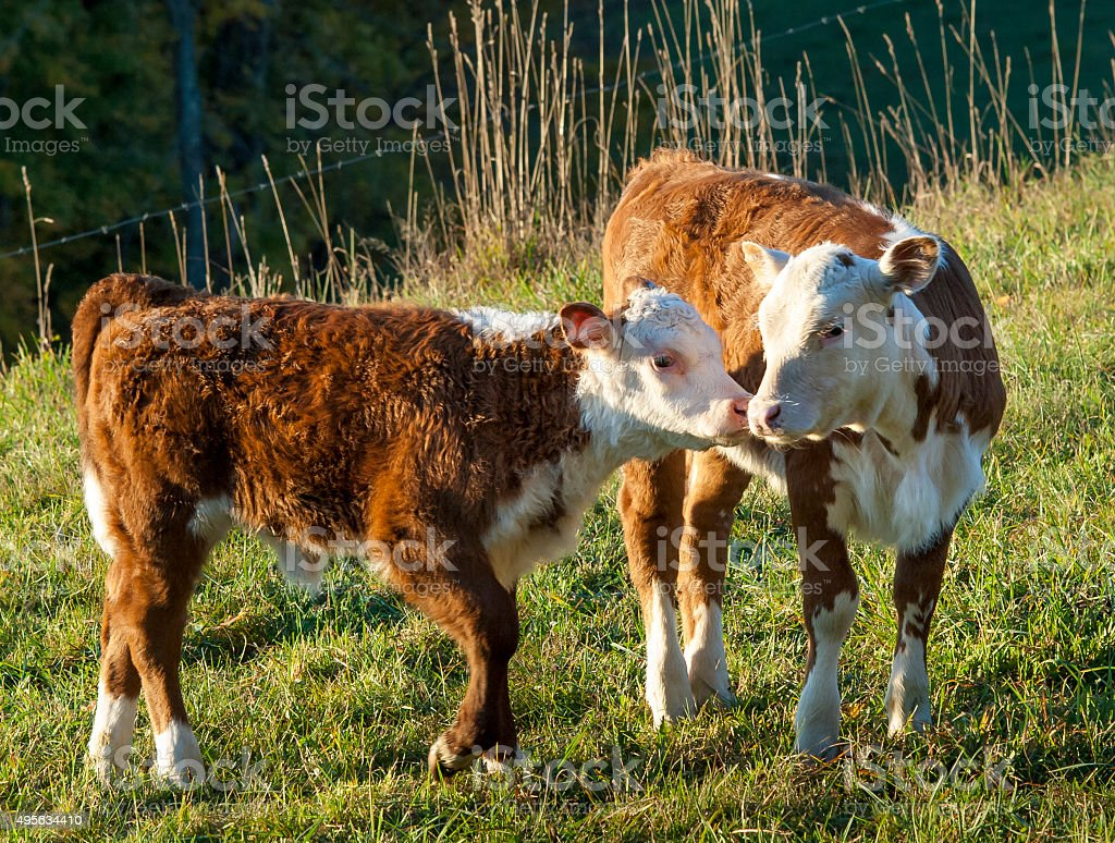 Hereford Calves Touching Noses Together stock photo