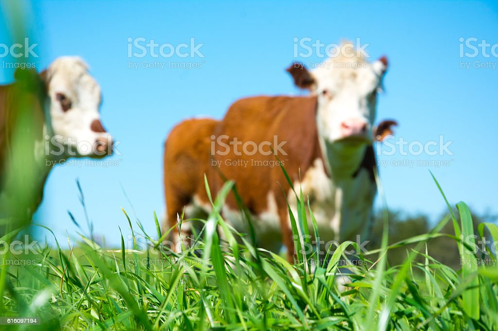 Hereford cattle out of focus stock photo