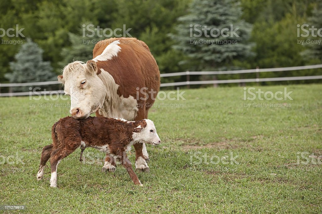 Hereford Cow and Her Newborn Calf royalty-free stock photo