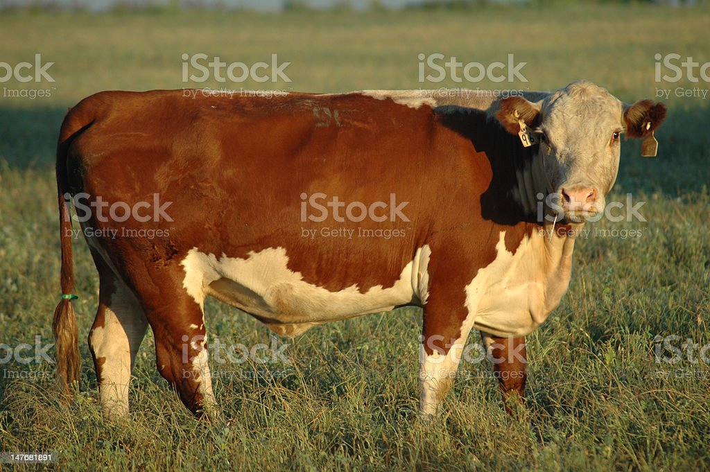 Hereford Cow / Bull royalty-free stock photo
